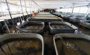 Рыбное предприятие приступило к разведению белуги