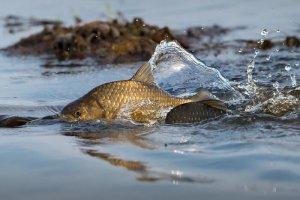 Пресноводная рыба карась