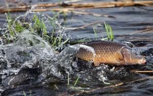 Историческое развитие рыбоводства
