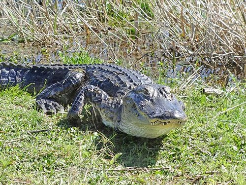 FWC provides important alligator safety advice