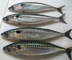 Mackerel (mackerel) (Scombridae)