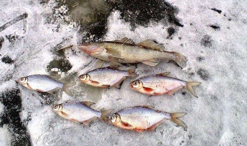 Methods of walleye fishing in purworedjo