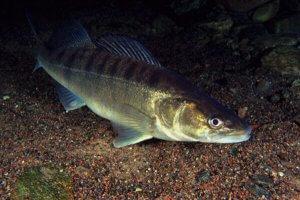 Рыба судак в воде