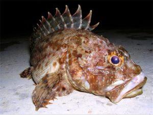 Skorpena (marine fish) (Scorpaena porcus)