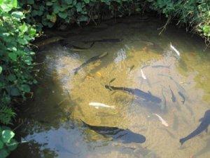 Разведение рыбы в пруду