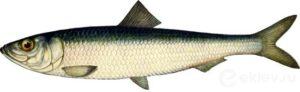 The Atlantic, the Murmansk herring (Clupea harengus)