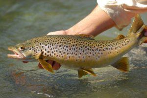 The brown trout (Salmo trutta)