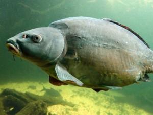 Рыба, которая водится в Киевском водохранилище