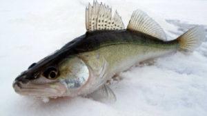 Судак морской (Sander marinus)