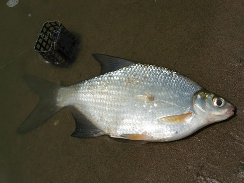 The white bream fishing in the spring on the feeder