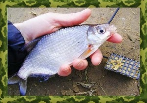 The white bream fishing in the spring