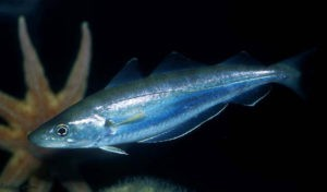 Whiting fish (Merlangius merlangus)