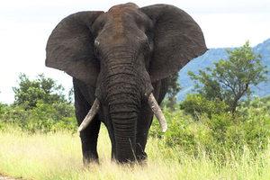 Слон африканский - привычки, питание