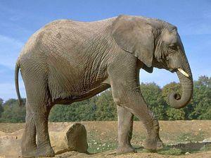 Как размножаются слоны