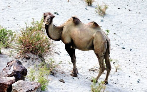 Bactrian camel how much they weigh
