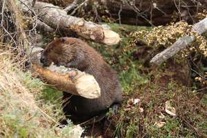 Beaver where he lives and what eats