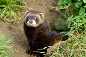 Black ferret forest dweller