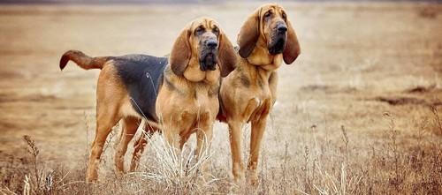 Bloody hound