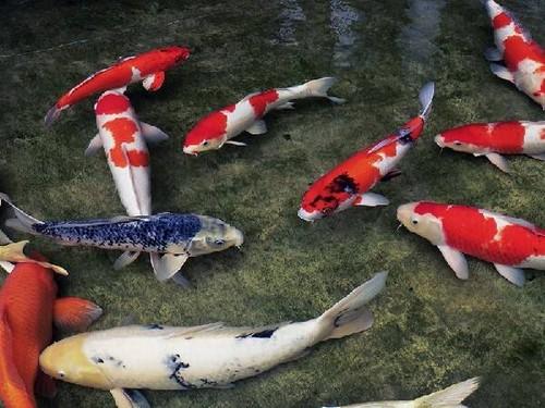 Разведение карпа Кои в своем водоеме