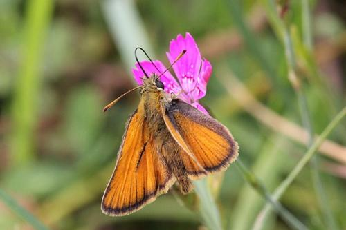 Butterfly-skipper drinking nectar from a flower carnations