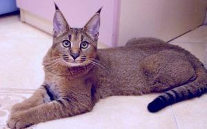 Cat breed lynx home