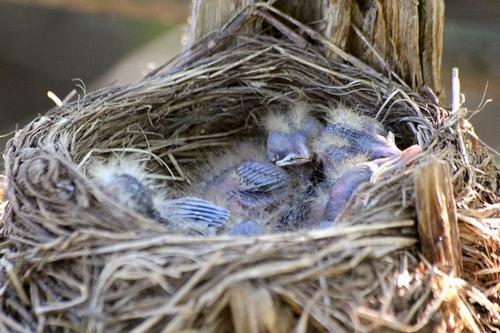 Птенцы дрозда-белобровика (Turdus iliacus) в гнезде