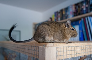Chilean degu protein. Care and maintenance at home