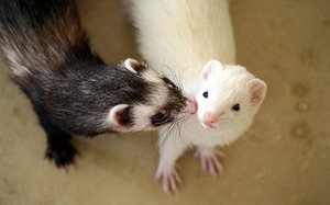 Content ferret at home: the pros and cons
