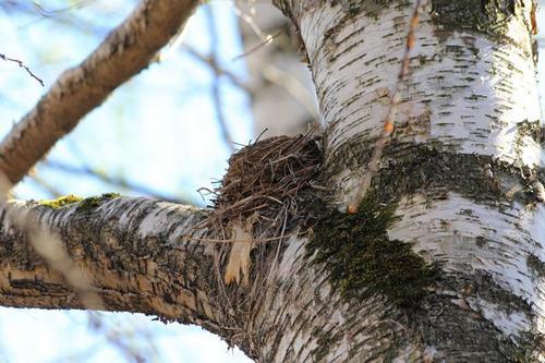 Гнездо дрозда в развилке берёзы: белобровика (Turdus iliacus) или рябинника (Turdus pilaris)