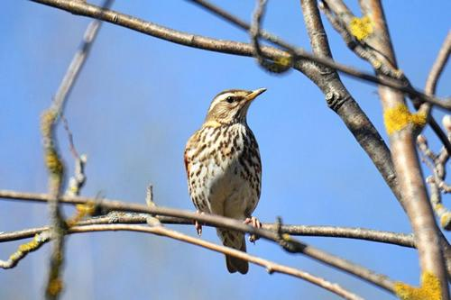 Eggs, Chicks and nests of thrushes