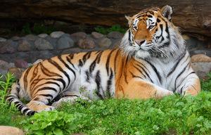 Исчезающий вид - амурские тигры