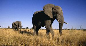 Африканский слон также человеком поставлен на грань вымирания