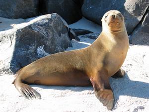 Галапагосский морской лев - что это за животное