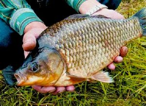 Features of fishing Oct carp
