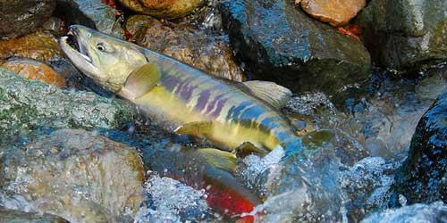 Фото рыбы кета