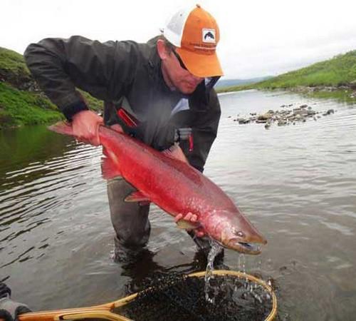 Фото пойманной рыбы кета