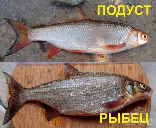 Отличие рыбца от подуста