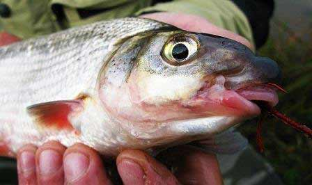 Рыбец на крючке от мушки