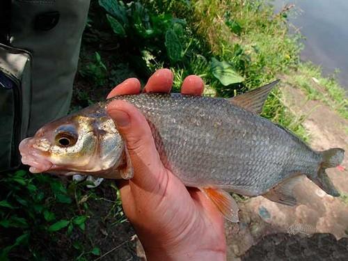 Рыбец на реке Волге