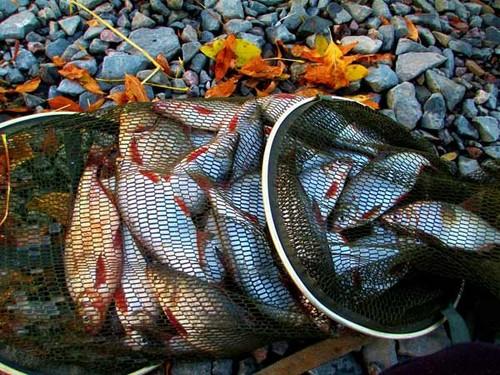 Осенний клев рыбца на кольцо с лодки