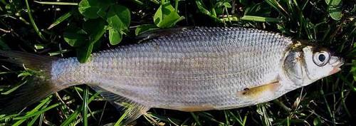 Фото рыбы рыбец