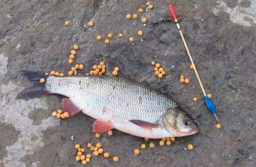 Fishing for IDE. Tackle and bait