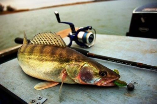 Fishing for walleye in the summer