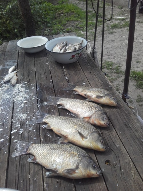 Крупный карась на рыбаке в ст. Малоголубинской реке Дон