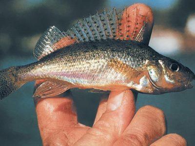 Fishing the ruff