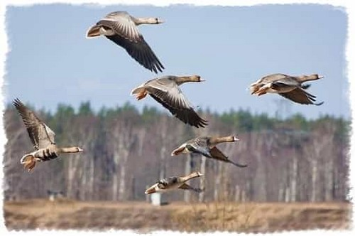 Goose hunting in the spring in the swamp