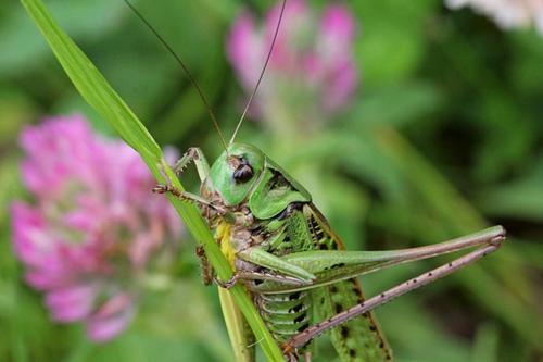Grasshopper gray, or variegated grasshopper