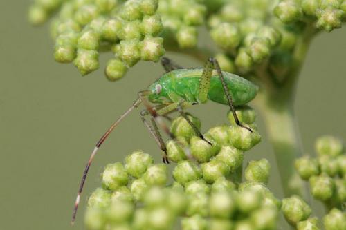 Green bug nymph-Kanaka