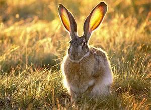 Заяц толопай: описание внешнего вида