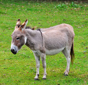 Домашние ишаки и ослы